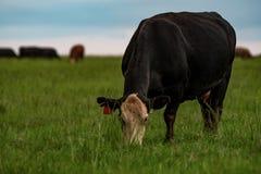 Angus korsade kon som betar frodiga bermudagrass arkivfoton