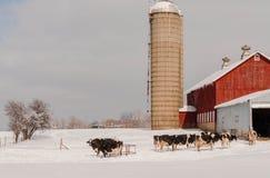 Angus-Kuh, die im Schnee weiden lässt Stockbild