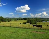 Angus nötkreatur i lantliga Missouri Fotografering för Bildbyråer