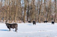 Angus nötkreatur i ursprunglig snö fotografering för bildbyråer