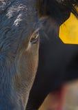 Angus steer closeup