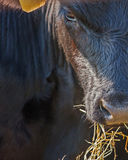 Angus steer closeup Royalty Free Stock Images