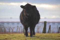 angus svart kalv royaltyfri fotografi