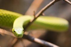 angusticeps dendroaspis绿眼镜蛇 库存照片