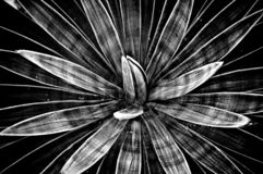 Angustiflora in bianco e nero dell'agave immagine stock