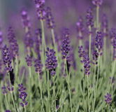 angustifolia熏衣草属淡紫色 免版税图库摄影