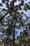 Angustifolia αροκαριών δέντρων αροκαριών Στοκ Εικόνες