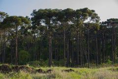 Angustifolia αροκαριών δέντρων αροκαριών Στοκ Φωτογραφίες