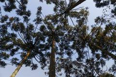 Angustifolia αροκαριών δέντρων αροκαριών Στοκ Εικόνα