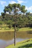Angustifolia αροκαριών (βραζιλιάνο πεύκο), Βραζιλία Στοκ Εικόνες