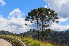 Angustifolia αροκαριών (βραζιλιάνο πεύκο) κοντά στο δρόμο Στοκ εικόνες με δικαίωμα ελεύθερης χρήσης