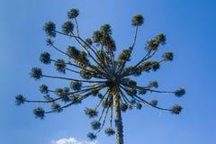 Angustifolia αροκαριών Στοκ φωτογραφία με δικαίωμα ελεύθερης χρήσης