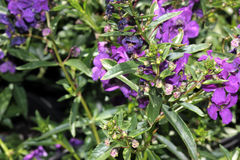 Angustifolia «πορφύρα Angelonia Carita» Στοκ Εικόνες