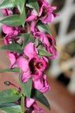 Angustifolia «σμέουρο Angelonia Carita» Στοκ φωτογραφία με δικαίωμα ελεύθερης χρήσης