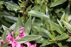 Angustifolia «σμέουρο Angelonia Carita» Στοκ Εικόνες