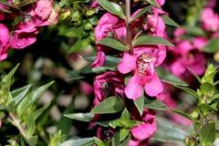 Angustifolia «σμέουρο Angelonia Carita» Στοκ φωτογραφίες με δικαίωμα ελεύθερης χρήσης