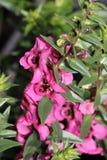 Angustifolia «σμέουρο Angelonia Carita» Στοκ Φωτογραφίες