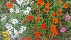 Angustifolia της Zinnia σε ένα κρεβάτι λουλουδιών Στοκ Εικόνες