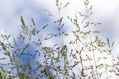 Angustifolia мятлика, annua мятлика, ежегодный мятлик, pratensis мятлика стоковое изображение rf