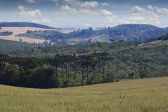Angustifolia d'araucaria d'arbre d'araucaria Photo stock