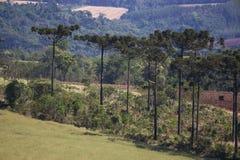 Angustifolia d'araucaria d'arbre d'araucaria Photo libre de droits