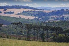 Angustifolia d'araucaria d'arbre d'araucaria Image libre de droits
