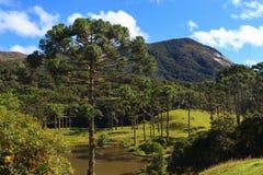 Angustifolia da araucária (pinho brasileiro), Brasil Imagens de Stock