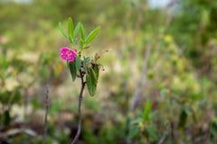 Angustifolia de Kalmia, grands-Jardins parc national, Québec photographie stock