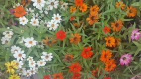 Angustifolia del Zinnia en una cama de flor Foto de archivo