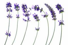 Лаванда (angustifolia Lavandula) Стоковое фото RF