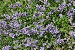 Angustifolia Lavandula - lavender Στοκ Φωτογραφία