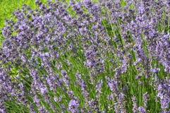 Angustifolia Lavandula - lavender Στοκ Εικόνες