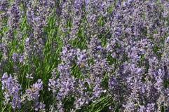 Angustifolia Lavandula - lavender Στοκ Εικόνα