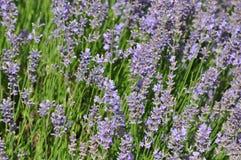 Angustifolia Lavandula - lavender Στοκ εικόνες με δικαίωμα ελεύθερης χρήσης