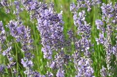Angustifolia Lavandula - lavender Στοκ φωτογραφία με δικαίωμα ελεύθερης χρήσης
