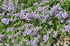 Angustifolia Lavandula - lavender Στοκ εικόνα με δικαίωμα ελεύθερης χρήσης