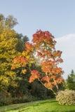 Angustifolia Ray Wood Fraxinus в цветах осени Стоковое фото RF