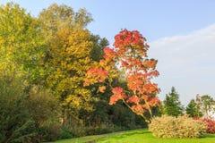 Angustifolia Ray Wood Fraxinus в цветах осени Стоковое Изображение RF