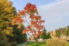 Angustifolia Ray Wood Fraxinus как дерево парка засаженное в лужайке Стоковые Фото