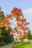Angustifolia Ray Wood Fraxinus Стоковые Фото