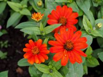 Angustifolia Zinnia или Zinnia, цвести цветки стоковое изображение