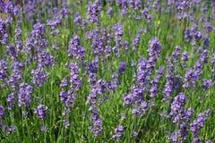 Angustifoliabloemen van lavendellavandula Royalty-vrije Stock Fotografie
