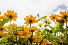 Angustifoliabloemen van Zinnia Royalty-vrije Stock Fotografie