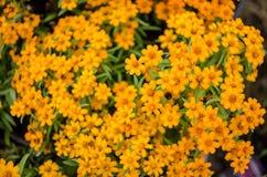 Angustifoliabloemen van Zinnia Royalty-vrije Stock Foto's