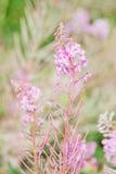 Angustifolium кипрея Стоковое Изображение