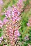 Angustifolium кипрея Стоковое Изображение RF