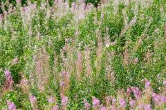 Angustifolium кипрея Стоковые Фотографии RF