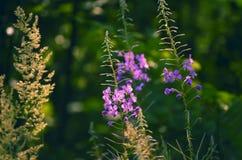 Angustifolium bium Epilà ³ λουλουδιών Στοκ Φωτογραφίες
