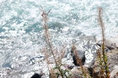 Angustifolium Chamaenerion. Wild river in mountains. Beautiful nature scene. The fading inflorescence of Chamaenerion angustifolium, commonly known as fire-weed royalty free stock image