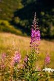 Angustifolium Chamerion γνωστό συνήθως όπως λουλούδια Στοκ εικόνες με δικαίωμα ελεύθερης χρήσης
